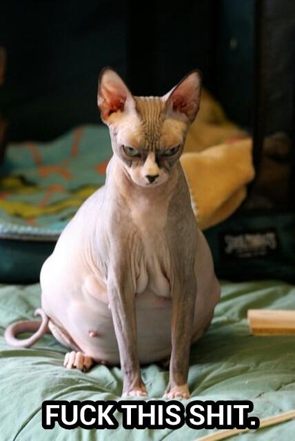 pregant-cat